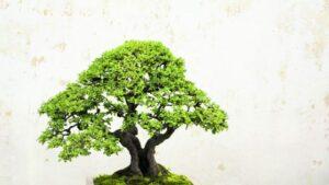 bonsai storia e come curare