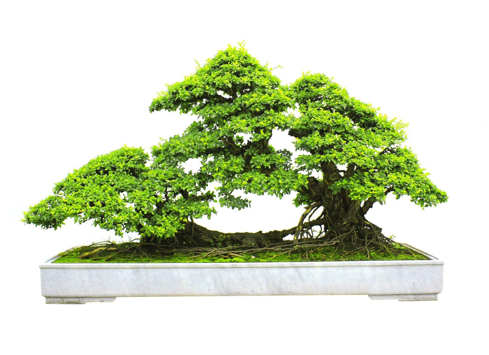Shop online di bonsai da interno ed esterno